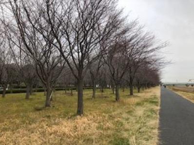 2020年4月5日(日)196回「小松川千本桜と旧中川を歩く」